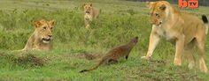 Mongúz és oroszlánok (Barcroft)