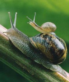 Un caracol lleva a cuestas a su cría.