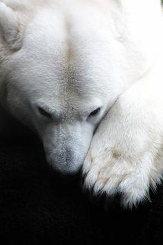 lensblr-network: polar bear by Andi Gebhardt (plumperquatsch.tumblr.com)