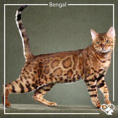 """O Bengal surgiu em 1963, quando um moço chamado Jean Sugden Mill comprou um leopardo asiático (uma fêmea) e colocou-a com um gato doméstico.  Como um mini-leopardo dócil, o Bengal é inteligente e obediente. Se torna um hábil caçador, escalador e adora brincar com água.  São bastante rústicos, bem resistente a doenças e possuem pelagem curta. Muitas pessoas que têm alergia a gato optam por esse bichano, pois não produz """"caspa"""", que é responsável por dar alergias a humanos.  #Gatos #Raças…"""