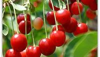 How to Plant Cherry Trees From a Seed | eHow.com  AKA, patience in action - germinate & sprout between 2mo - 1yr and 5-10yrs before fruit is produced.