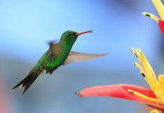Canivet's or Fork-tailed Hummingbird found in Mexico and Central America Bee Hummingbird, Weird But True, Poison Dart Frogs, Tiny Bird, True Facts, Central America, Amazing Nature, Beautiful Birds, Habitats