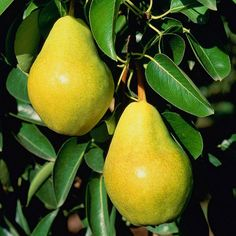 Sanhedrin Nursery is a distributor of bareroot fruit trees and roses to most areas of the U. Pyrus, Gluten Free Cooking, Fruit Trees, Fruits And Vegetables, Permaculture, Gardening Tips, Pear, Food Photography, Gardens