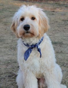 In this article, we will be discussing Goldendoodle grooming. We will outline the most important steps on how to groom a Goldendoodle, and we will even touch a little bit on Goldendoodle grooming styles. Mini Goldendoodle, Goldendoodle Haircuts, Goldendoodle Grooming, Dog Haircuts, Dog Grooming Tips, Standard Goldendoodle, Poodle, Miniature Schnauzer Puppies, Schnauzer Puppy