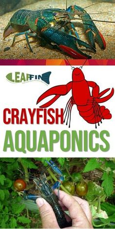 Although crayfish can cheaply and easily be grown in an aquarium, there are several limitations to raise them in an aquaponics system. An aquaponics system designed for cultivating fish is unsuitable for the freshwater crayfish. Aquaponics System, Aquaponics Greenhouse, Aquaponics Fish, Fish Farming, Hydroponic Gardening, Organic Gardening, Indoor Aquaponics, Hydroponic Systems, Shrimp Farming