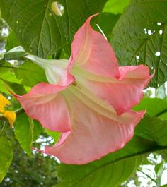 Angel Trumpet Brugmansia Plant Pink Fragrant Angels White Peach Yellow Rooted Plant
