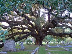 """""""grandfather tree"""" in Glenwood Cemetary in Houston...off Washington. Everyone should visit there. It's a gorgeous place!"""