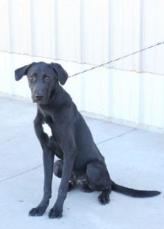 02/02/15-ODESSA SUPER URGENT - Lab mix male 1-2 year old Kennel A25****51 to adopt Meet Simon! He is a gentle giant!! GoOd with other dogs and loves people!!! ADOPT/RESCUE/FOSTER Located at Odessa, Texas Animal Control. Must have a valid Drivers License and utility bill with matching address to adopt. They accept Credit Cards, cash or checks. Please send us a PM if we can answer any questions for you.
