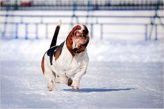 Hound Dogs Running