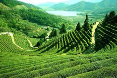 The bumpy green hills of Darjeeling, India, where -- you guessed it -- darjeeling tea comes from. :)