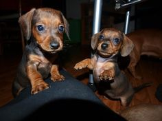 baby doxies :) i wish they stayed little forever!