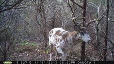 Piebald deer it's a mix between albino and normal Ross buerger Whitetail Hunting, Whitetail Bucks, Trophy Hunting, Deer Hunting, Whitetail Deer Pictures, Deer Pics, Deer Photos, Big Deer, Deer Mounts