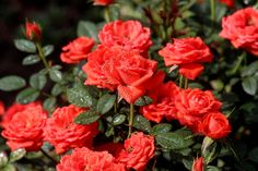 Discover the best source for free images and videos. Colorful Roses, Beautiful Roses, Bonsai, Gardening Tips, Free Images, Backyard, Tudor, Life, Rose Trees