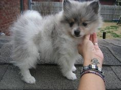 Baby Puppies for Free   and white baby Pomeranian puppies available - Baltimore, USA - Free ...