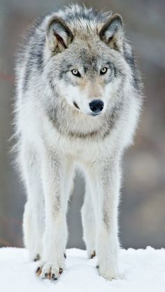 'Fixation' Gray Wolf by Maxime Riendeau Wolf Photos, Wolf Pictures, Beautiful Creatures, Animals Beautiful, Cute Animals, Wild Animals, Baby Animals, Tier Wolf, Malamute