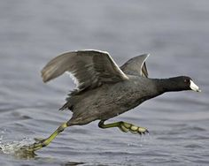 Always see them on ponds - usually in the autumn & winter: AZdesertTrips.com   American Coot   National Audubon Society Birds. Tucson Arizona