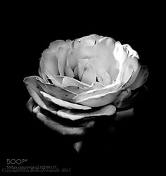White Rose  - Pinned by Mak Khalaf Performing Arts  by LucBellen