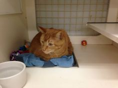 ADOPTED!  Reacher, a four year old orange tabby in the Angel of Hope adoption area at Petco Fridley.