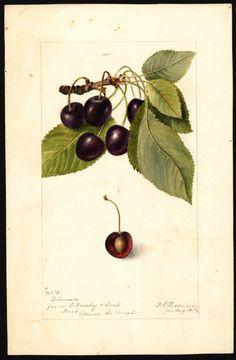 Black Cherries............................................................................................................................................screen (442×675)
