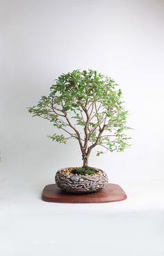"Jabaticaba Bonsai Tree ""Fall Fruiting Collection by LiveBonsaiTree"" by LiveBonsaiTree on Etsy"