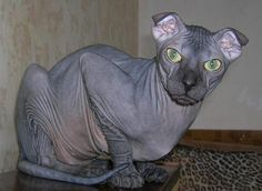 Cat Breed of the Day:  Ukranian Levkoy (Love it <3)
