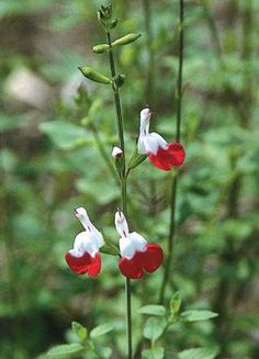 salvia on pinterest hot lips perennials and hummingbirds. Black Bedroom Furniture Sets. Home Design Ideas