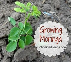 """Last week I became the proud owner of 4 moringa """"trees"""". Until just recently I had never heard of moringa but after doing some research I was super excited when Karen from Blue Yonder Urban Farmoffered to send me some seedlings to review. So, what's so amazing about moringa? How's this for starters? Moringa leaves …"""