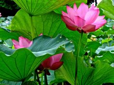 Common Japanese Garden Plants  -  Although no rulebook exists for choosing plants for a Japanese garden, some Japanese garden plants are traditional in such a garden, including those t...