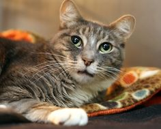 Bogie will be a great pet for a lucky family! This 4 year old gray tabby is affectionate, playful, and has a good history with other cats & dogs as well as respectful kids. Learn more and watch his video on our website!