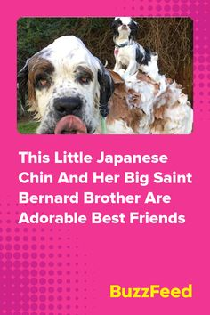 This Little Japanese Chin And Her Big Saint Bernard Brother Are Adorable Best Friends Friends Forever, Best Friends, Japanese Chin, Dog Signs, Friend Goals, Saints, Brother, I Am Awesome, Names