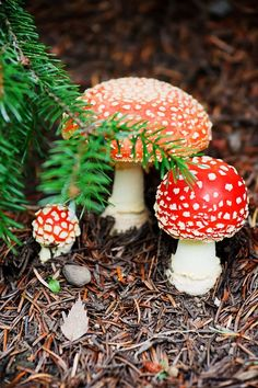Pretty but deadly red-capped toadstools (Amanita muscaria)