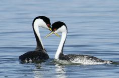 Grebe, Western Aechmophorus occidentalis