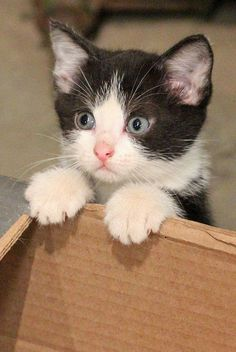 adorable black & white kitten
