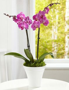 Double stemmed orchid - my favourite.