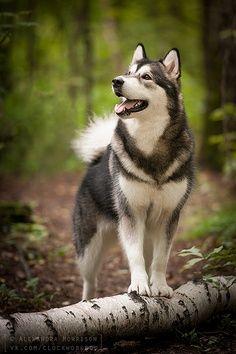 Pretty #huskies #dogs