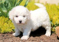 Carmel Keystone Puppies: Puppies for Sale Health Guaranteed Bichon Puppies For Sale, Puppies Puppies, Bichon Frise, German Shepherd Puppies, Animals And Pets, Fur Babies, Health, Dogs, German Shepherd Pups