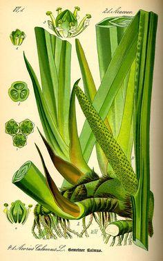 Illustration Acorus calamus0 - Acorus calamus