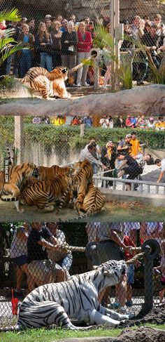 Tiger tug-o-war! Zoo gives visitors the chance to test their strength against the tigers - clearly the visitors always lose!!