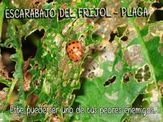 escarabajo del frijol, uno de los peores enemigo que puedes encontrar en tu #huerto #jardín