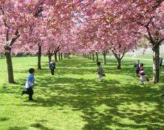 A Festa das Cerejeiras, realizada todos os anos no Parque do Carmo, acontece neste fim de semana – dias 4 e 5 de agosto, a partir das 9h às 17h. Haverá transporte gratuito da estação de metrô Corinthians Itaquera direto para o parque a partir das 9h.