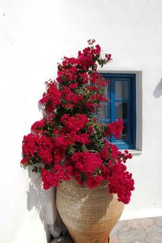 Bougainvillea in Oia, Santorini Bougainvillea, Colorful Garden, Tropical Garden, Plant Pictures, Garden Plants, Fruit Garden, House Plants, Container Gardening, Vegetable Gardening