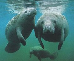 Crystal River, FL in the wintertime...these gentle giants are everywhere...best to see by kayak.