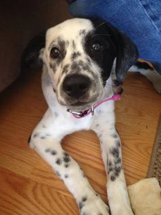 FAUQUIER CO, VA--LOST FEMALE DOG DALMATIAN/BORDER COLLIE MIX MISSING IN MARSHALL, VA, REWARD OFFERED. She went missing Sunday, June 29 about 3:00 pm. Last seen around Crest Hill Road and Lakeside Ct. Wearing a dark pink collar without tags, also a grey flea and tick collar. Microchipped. If any info, PLEASE call 540-364-9701 or 703-625-1706. Thank you. — with Amy LaVinus Hampton and Rita Hill LaVinus.