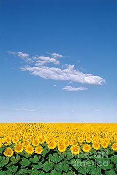 Sunflower fields #sunflowers #fields #nature #blue #sky