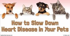 Know about the mitral valve disease in pets, its symptoms, diagnosis, treatment and how you can protect your pet from acquiring it.…