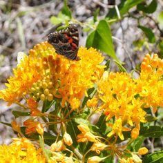 Butterflies of UH