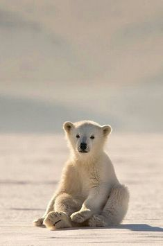 Cute Polar Bear Cub!