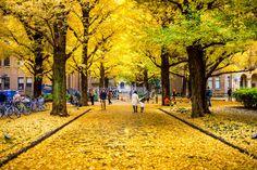 TREE TUNNELS AROUND THE WORLD Ѽ Autumn Ginkgo Leaves, Tokyo, Japan © Suttipong Sutiratanachai/Getty Images