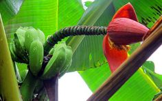 Musa arunachalensis - New Species of Wild Banana Discovered in India - Botanists from the University of Calicut in Kerala, India, have described a new species in the genus Musa. Musa, a plant genus native to the Indo-Malesian, Asian and Australian tropics, produces the fourth most important food in the world