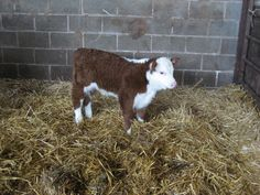2 week old Hereford bull. Strange how winter calves are born with a coat. Cute Baby Cow, Baby Cows, Cute Cows, Hereford Beef, Hereford Cattle, Farm Animals, Cute Animals, Longhorn Cow, Fluffy Cows